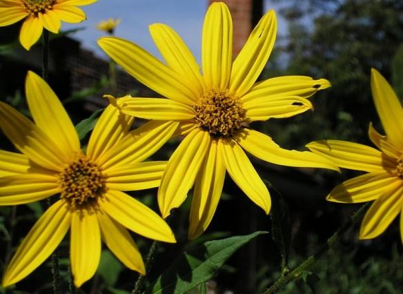 Il fiore del topinambur, una pianta bella ed utile, la preferita da Enzo Tiezzi.