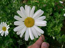 220px-Tanacetum_cinerariifolium1