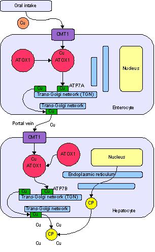 Copper_metabolism