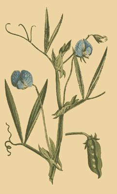 Lathyrus_sativus