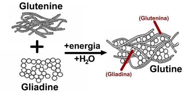 formazione_glutine