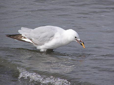Juvenile_red_billed_gull_smoking