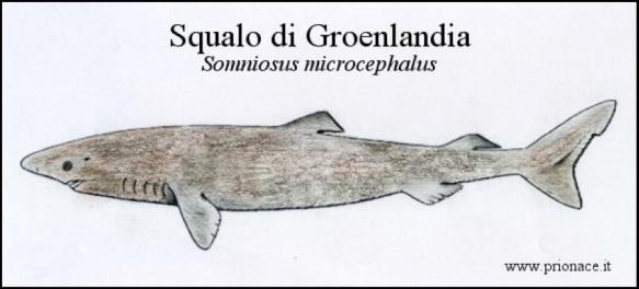 squalodigroenlandia