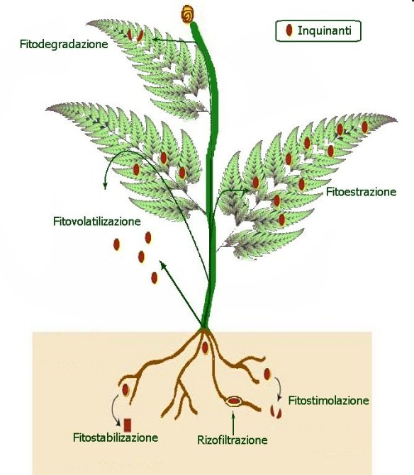 fitodepurazione2