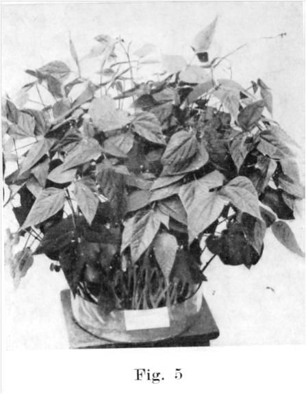fig-2a-germinatoio1