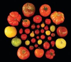 fig-1-varieta-di-pomodori
